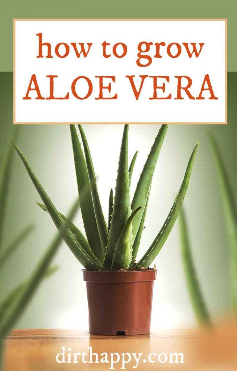 How To Grow Aloe Vera Plant Care Harvesting Guide