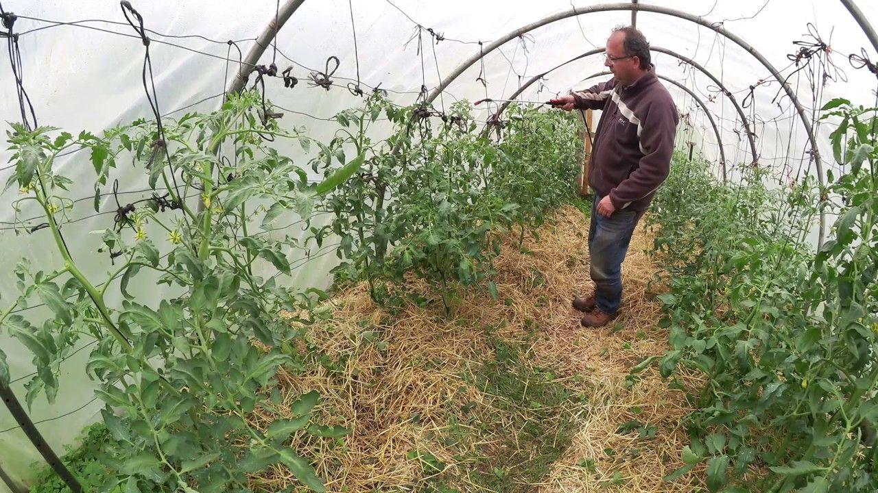 Como Combatir Y Prevenir El Mildiu Del Tomate Tuhuertofacil  ~ Como Cultivar Tomates En El Huerto