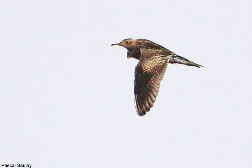 Une Bartramie Des Champs Trouvee Sur L Ile D Ouessant Finistere Le 12 Octobre 2019 Iles Bretonnes Ouessant Photo Oiseau