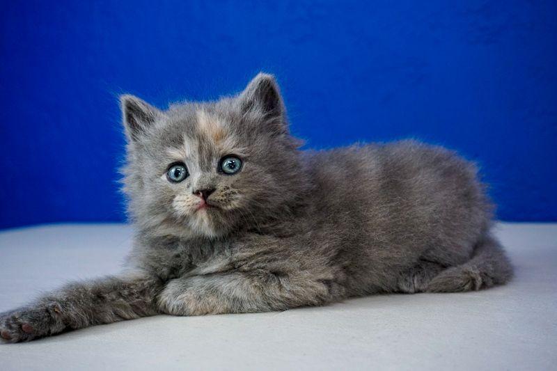 Ragdoll Kittens For Sale Near Me  Buy Ragdoll Kitten -7941