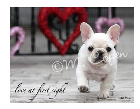 French Bulldog Love at First Sight Cards Creme French Bulldog – French Valentines Cards