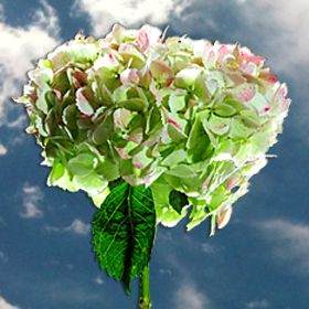 Hydrangea Flowers For Sale Global Rose Hydrangea Flower Hydrangea Flower Arrangements Flowers For Sale