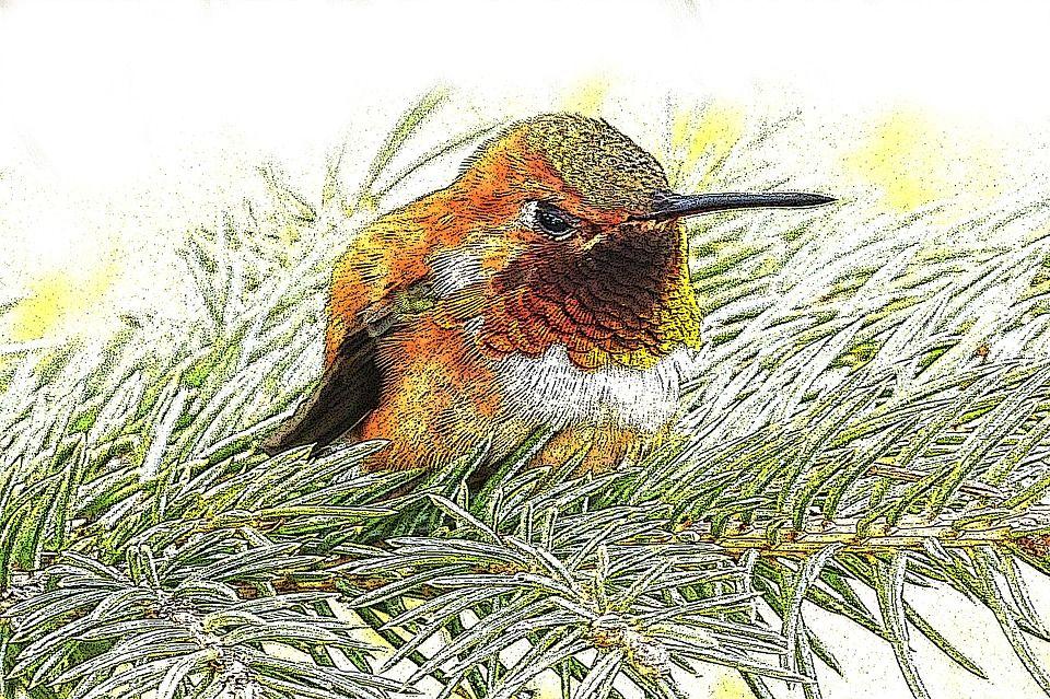 hummingbird drawing little bird pine fir nature