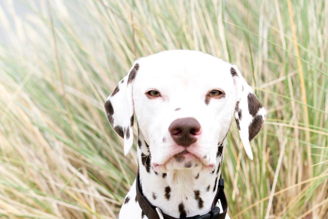 Dalmatiner Weiss Braun Dogblog Hund Hunde Dog Dogs Dogsofinstagram Hundewelpen Hundeliebe Dogstagram Dogs Of Instagram Dog Blog Dogs Animals