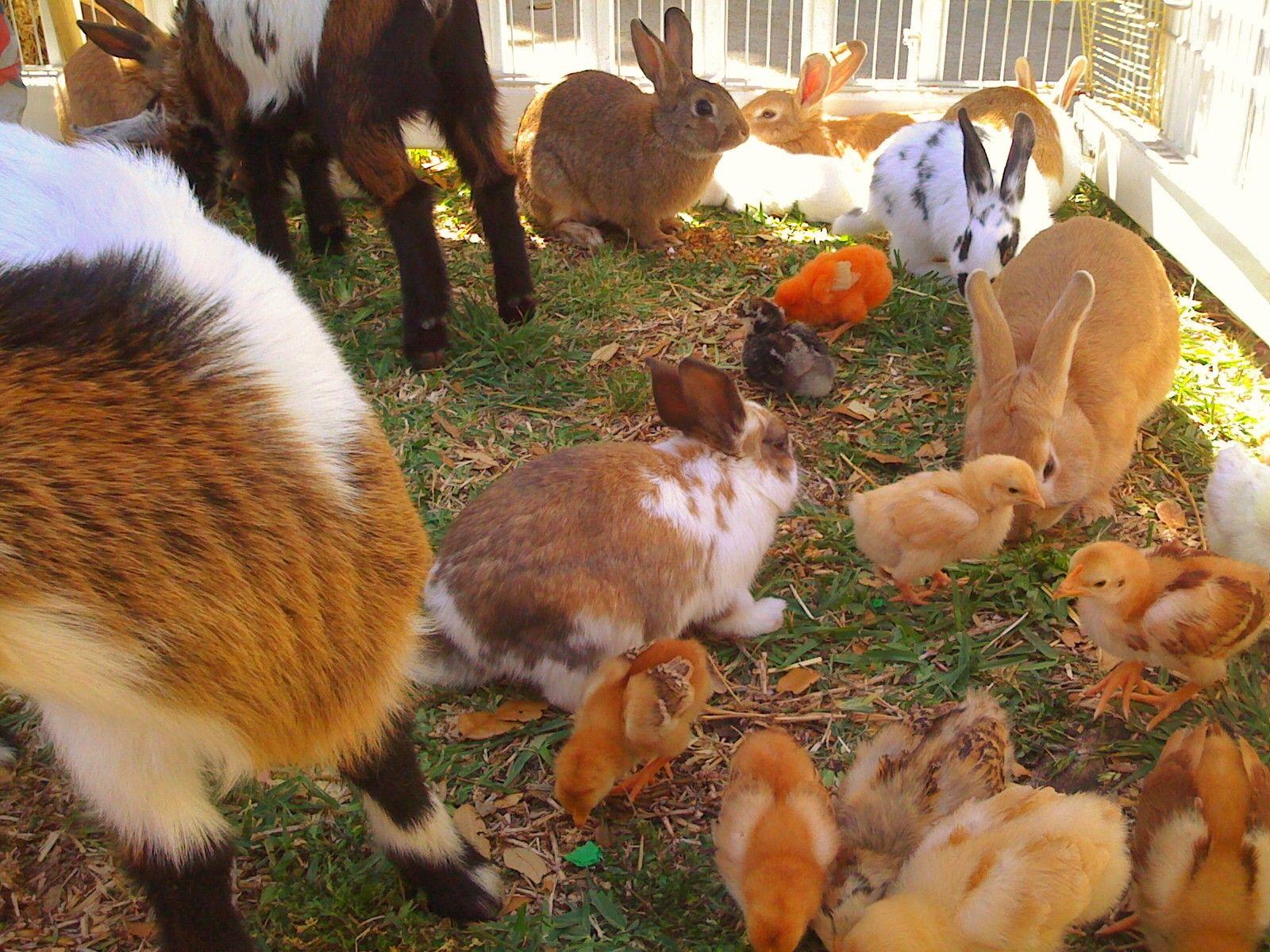 baby animals zoo PONY RIDES PARTY PETTING ZOO BARNYARD FARM
