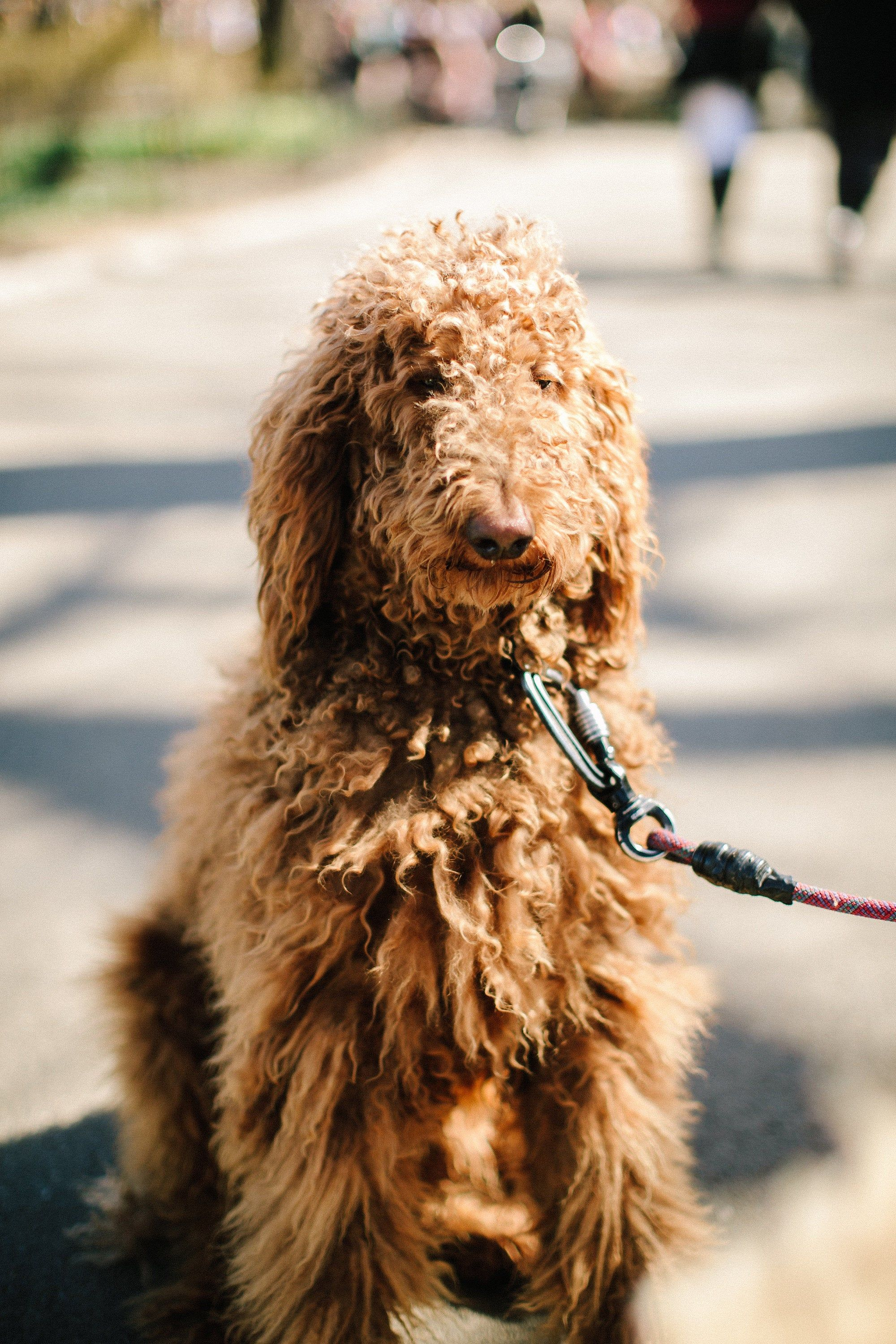 Vertical Photo Of Golden Doodle In Central Park Dogs Of Nyc