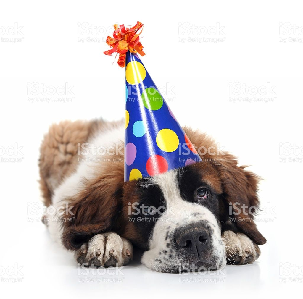 Mopey Saint Bernard Wearing a Polka Dot Birthday Silly Hat