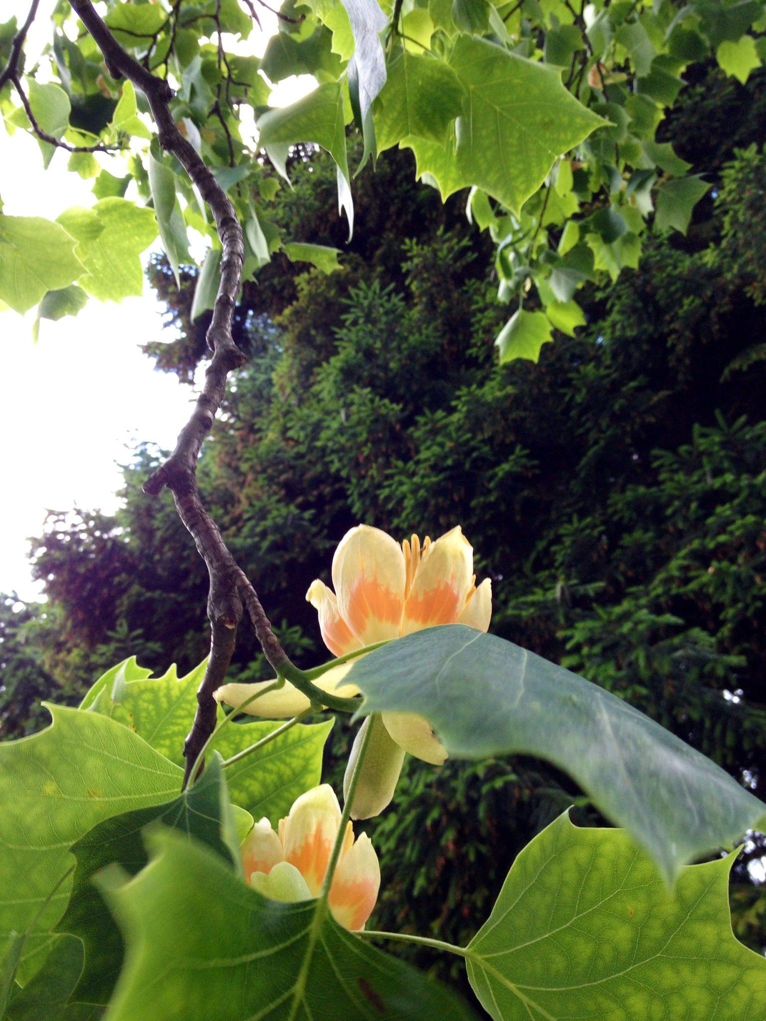 Tulpenbaum Liriodendron tulipifera