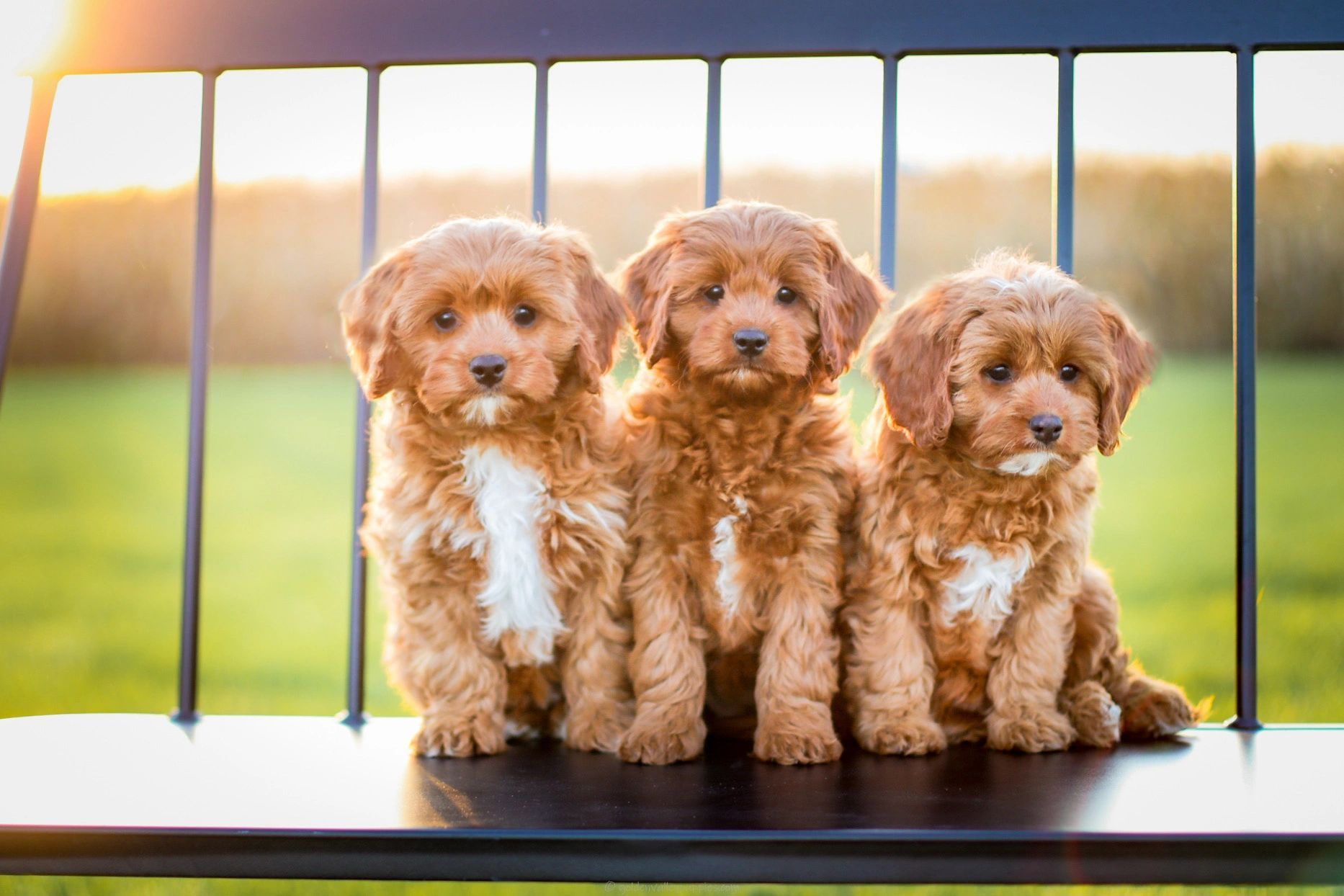 Cavapoo Puppies For Sale Small Breeder Of The Cavapoo Our Goal Is To Provide You With The Perfect P In 2020 Cavapoo Puppies Cavapoo Puppies For Sale Puppies For Sale