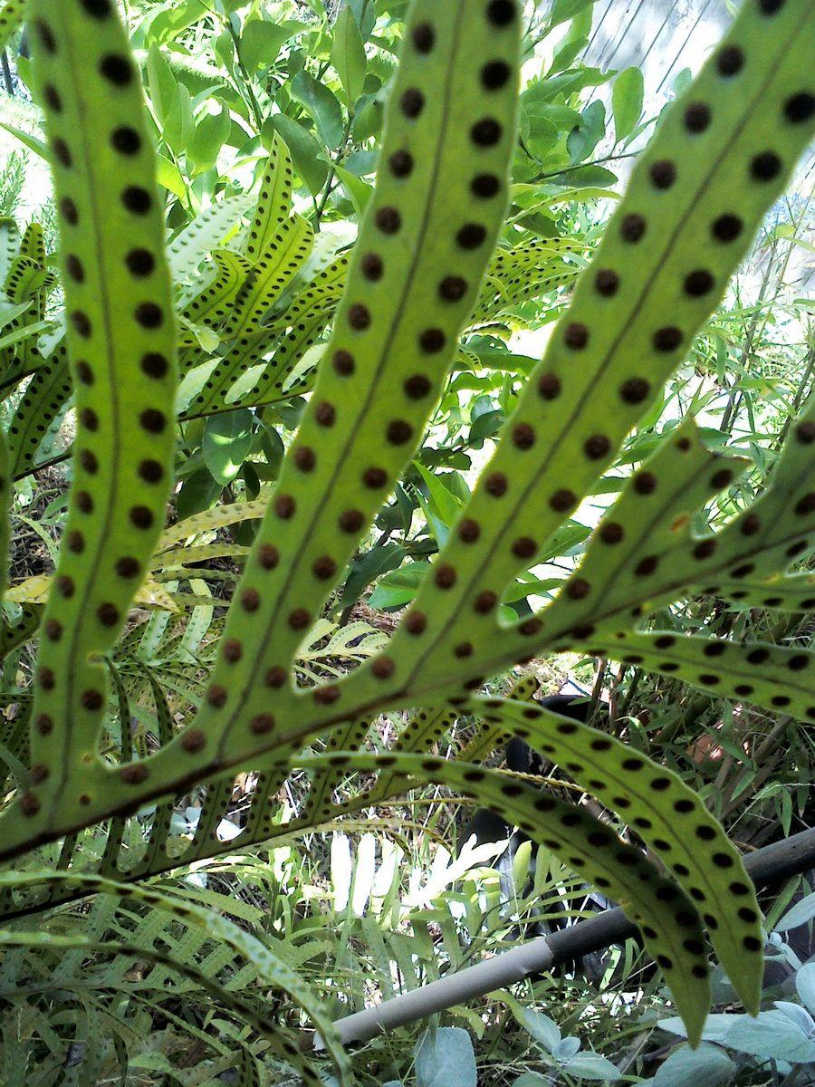 Fern Leaf Laurel Sheridan