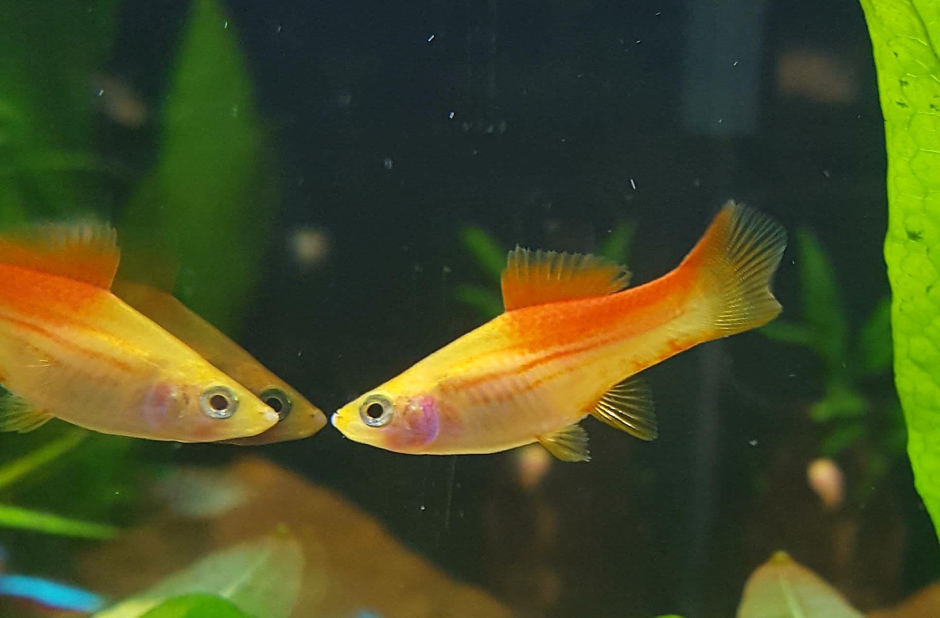 Female Pineapple Swordtail Fish animals