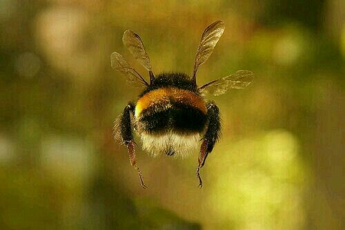 Cute Fluffy Bumblebee Insect