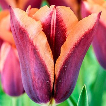 Slawa Tulip Shop Perennial Flower Bulbs Michigan Bulb In 2020 Bulb Flowers Flowers Perennials Perennials