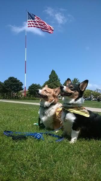 The Daily Corgi On Twitter Corgi Corgi Breeds Corgi Dog