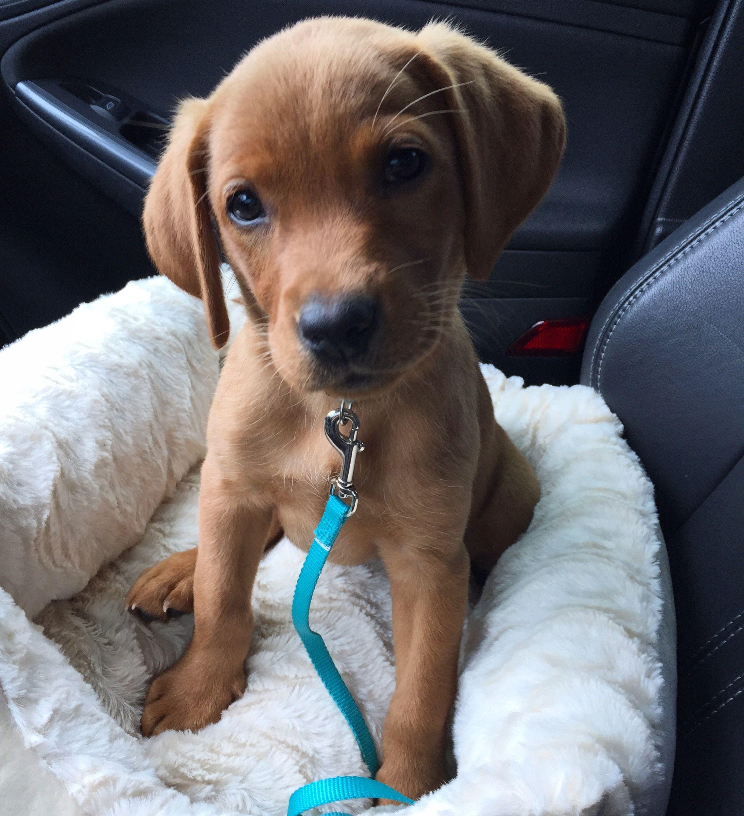 Ellie | Cute Bit of Fluff | Labrador retriever, Red lab