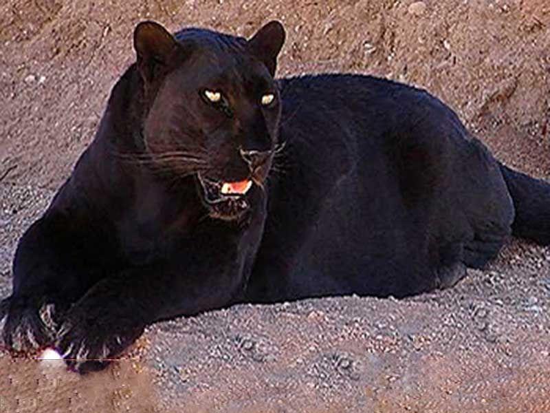 Gundla Brahmeswaram Sanctuary In Andhra Pradesh India Panther
