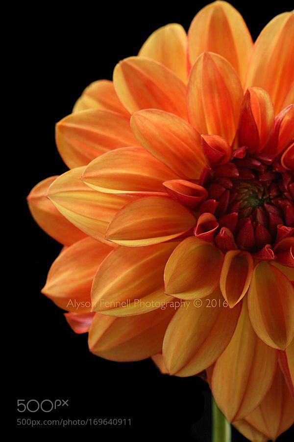 Burnt Orange Dahlia By Alysonfennellphotography Nature