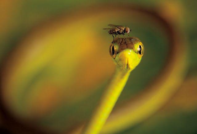 Una mosca en la cabeza de una serpiente Bejuquilla Verde