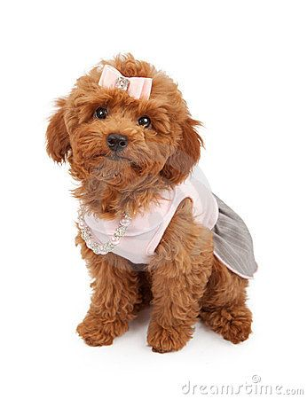 A Cute Young Red Poodle Puppy Wearing A Pink Dress Hair Bow And