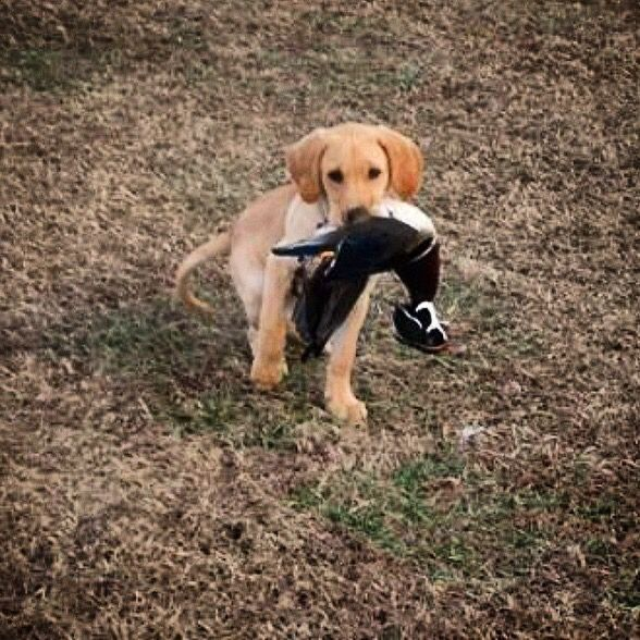 13 Week Old Lab Puppy Duck Dog In The Making Labrador Retriever