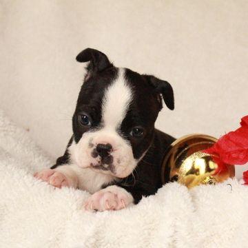 Boston Terrier Puppy For Sale In Gap Pa Adn 56311 On Puppyfinder