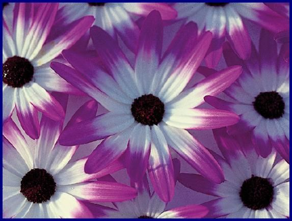 Our Plant Of The Month For May 2013 Senetti A Wonderful