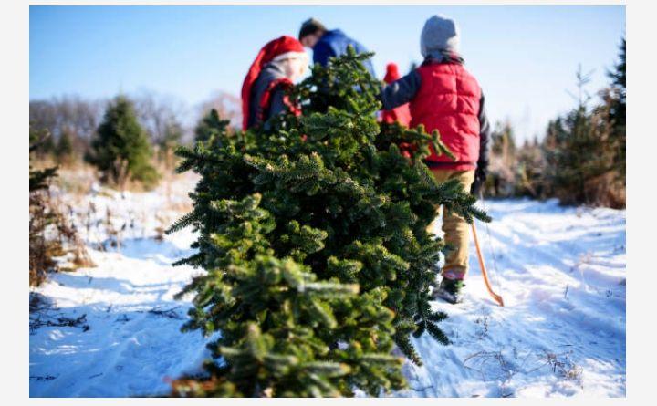 Https Needlefresh Co Uk Shop Pyle Products Size 3 Christmas Tree Farm Tree Farms Christmas Tree