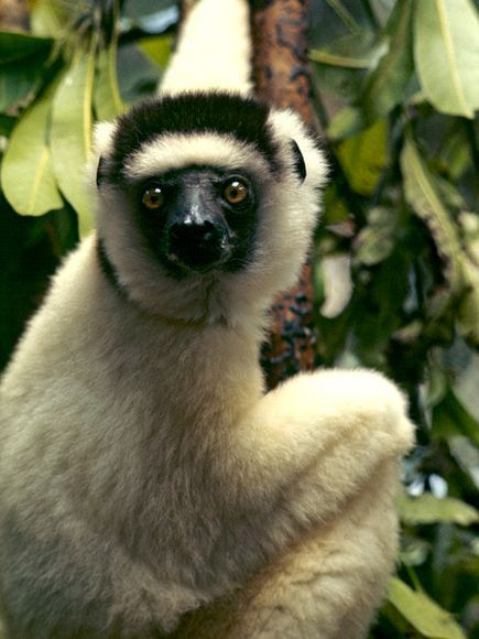 The Sifaka lemur of Madagascar! These guys are amazing jumpers!