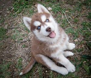 Siberian Husky Red And White Siberian Husky Siberian Husky