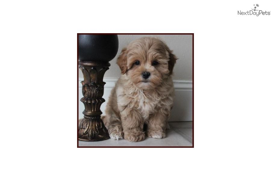 Shichon Puppy For Sale Near Pittsburgh Pennsylvania A5f7ba58