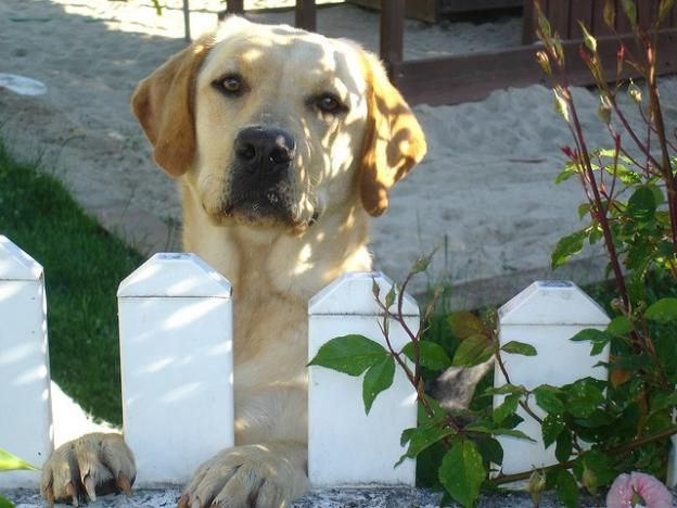 seeing eye hunting you can do even more with these pups then just that they are a great family dog and will love you very much if