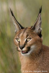23+ Serval face info