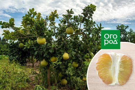 какой фрукт можно вырастить на подоконнике