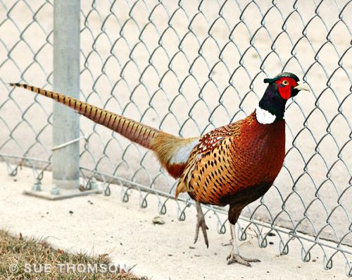 ring necked or common pheasant phasianus colchicus cock