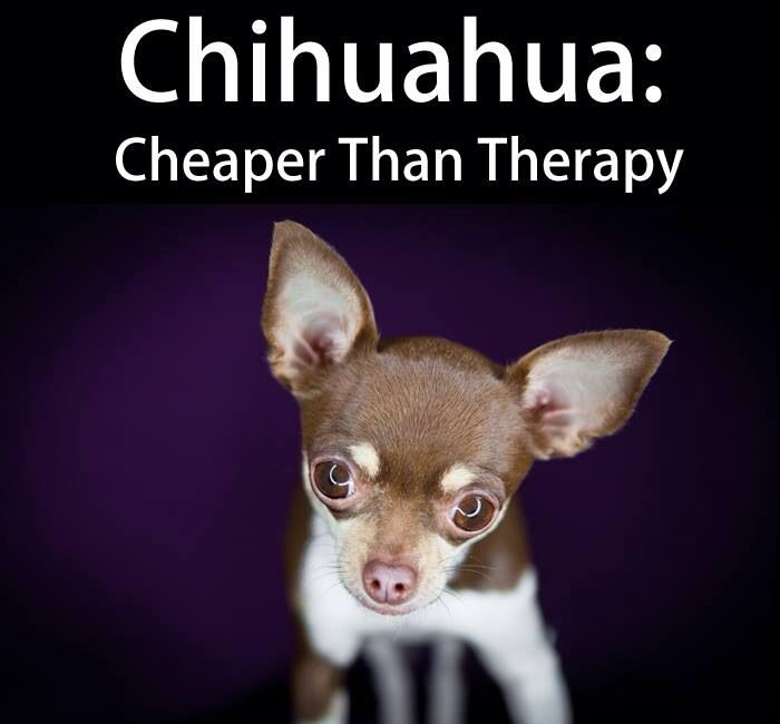 Therapy Chihuahua Love Chihuahua Cute Chihuahua