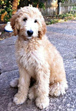 Perfect Coat Length Goldendoodle Haircuts Goldendoodle Grooming