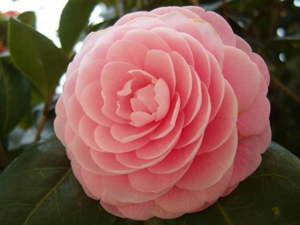 Camellia Japonica Japanese Camellia World Of Flowering Plants Indoor Flowering Plants Winter Plants Indoor Flowers