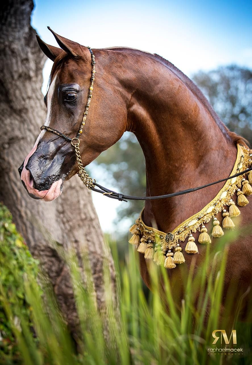 Arabian Horses, Beautiful arabian horses, Egyptian
