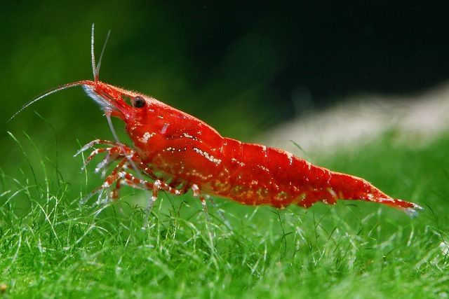 Another Common Shrimp Found In Most Pet Stores Are Cherry Shrimp These Bright Red Crustaceans Are Very Small And Are Gr Cherry Shrimp Red Cherry Shrimp Fish