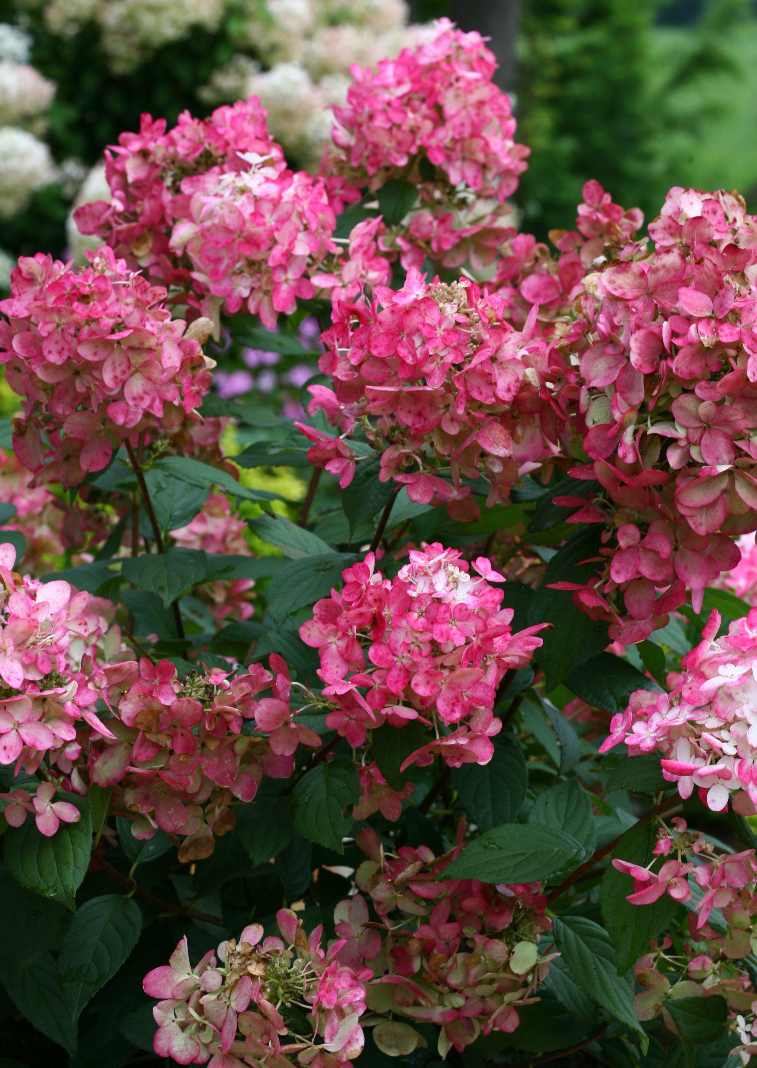 Fire Light Hardy Hydrangea Hydrangea Paniculata Hardy Hydrangea Hydrangea Paniculata Hydrangea Varieties
