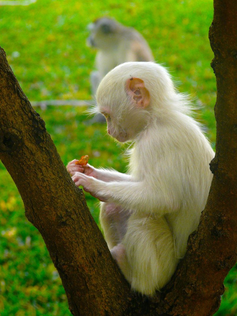 Photo of Albino Monkey by ghotti2k on DeviantArt