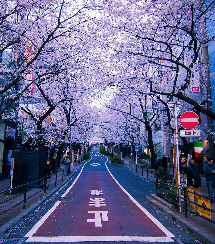 Shibuya Tokyo Japan Shibuya Tokyo Japan Street Sakura Blossom Cherryblossom Nature Spring Pemandangan Kota Fotografi Alam Fotografi Pemandangan