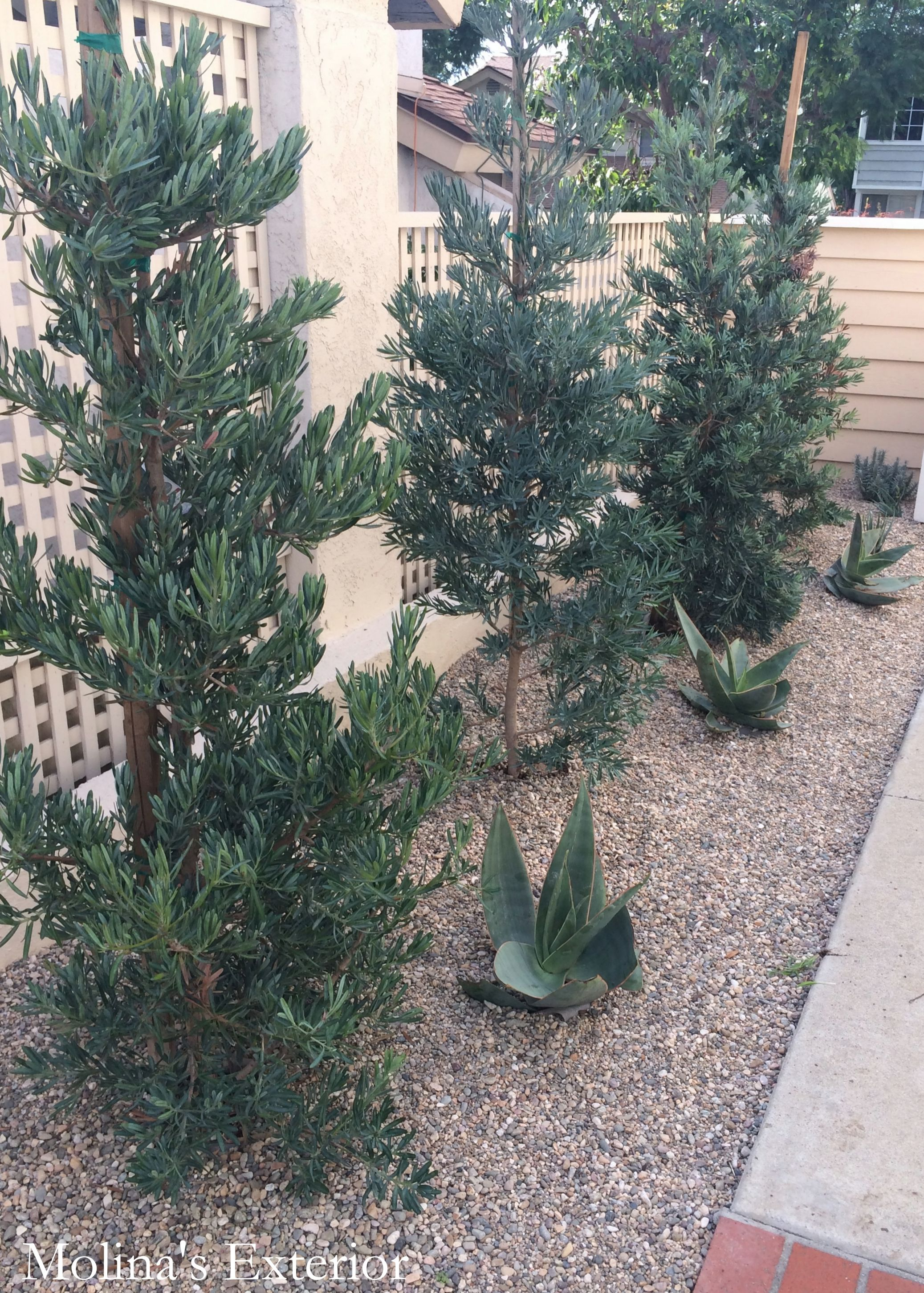 California drought friendly plants Podocarpus elongates Monmal and