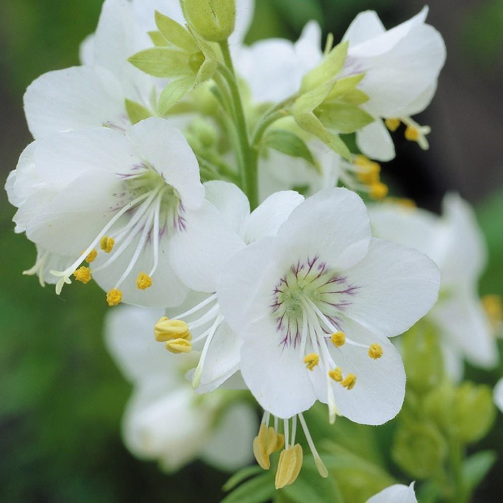 Jacobs Ladder Polemonium Greek Valerian Charity White Pearl