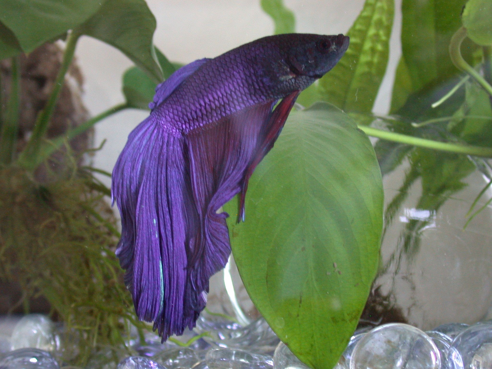 15 List Different Types of Betta Fish with