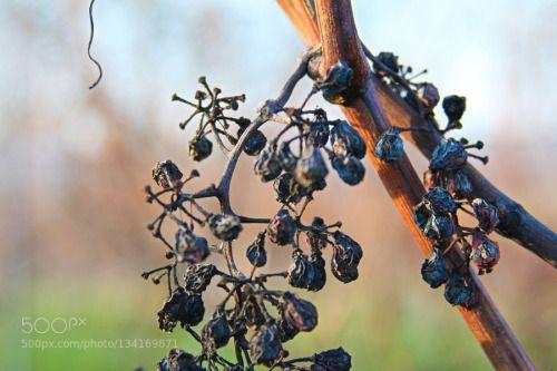 trauben trocken by HalloRoman  IFTTT 500px Eiswein Frost Reben Trauben Winter food grape grapes grapevine great simply vineyard w