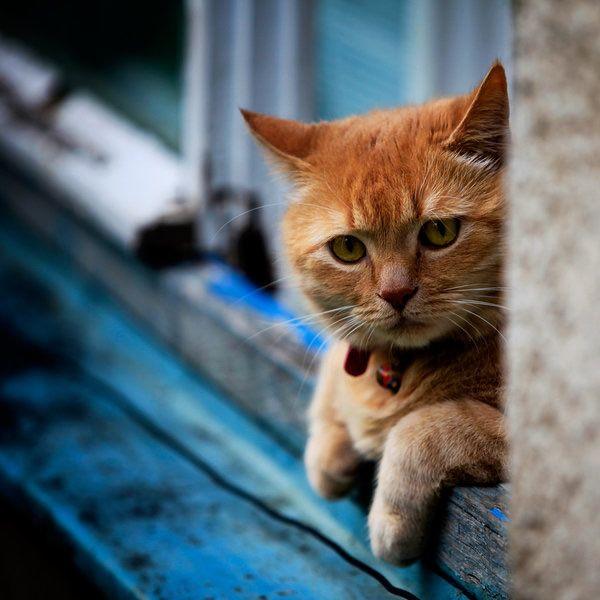 How Long Do Cats Keep B Lue Eyes