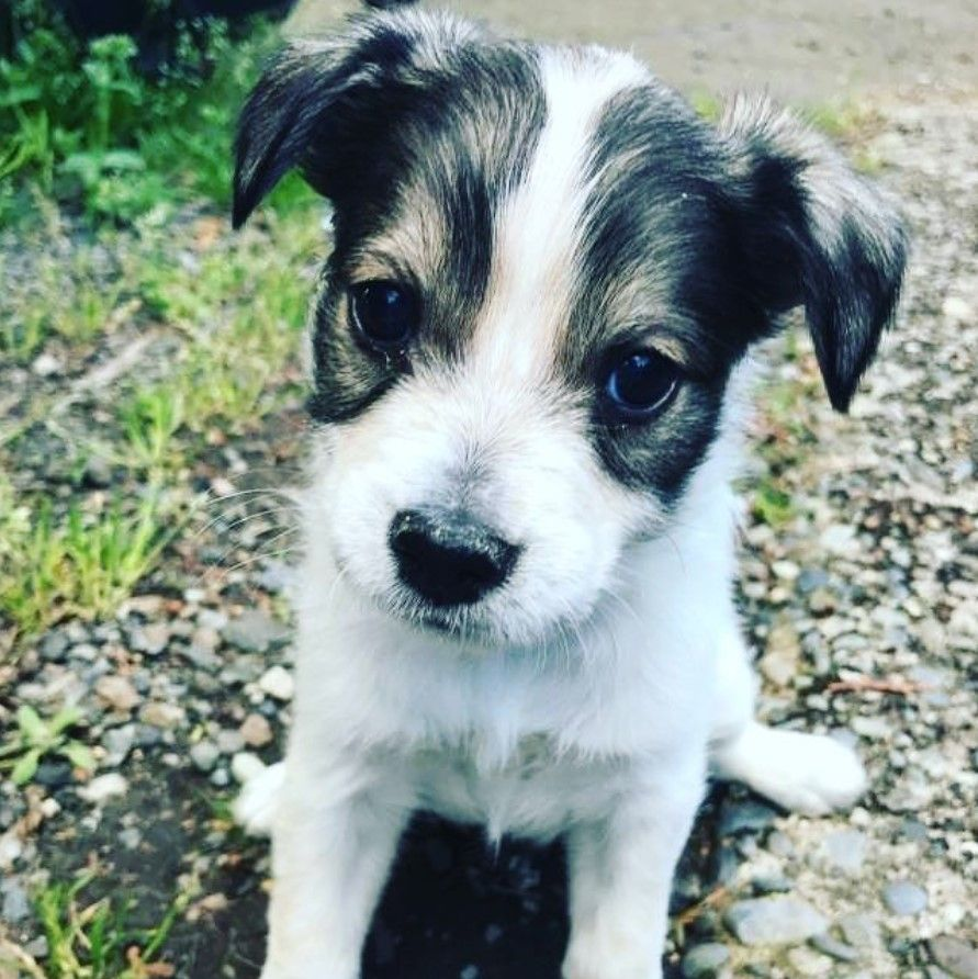 49 Dogs Mixed With Shih Tzus Cattle Dog Australian Cattle Dog