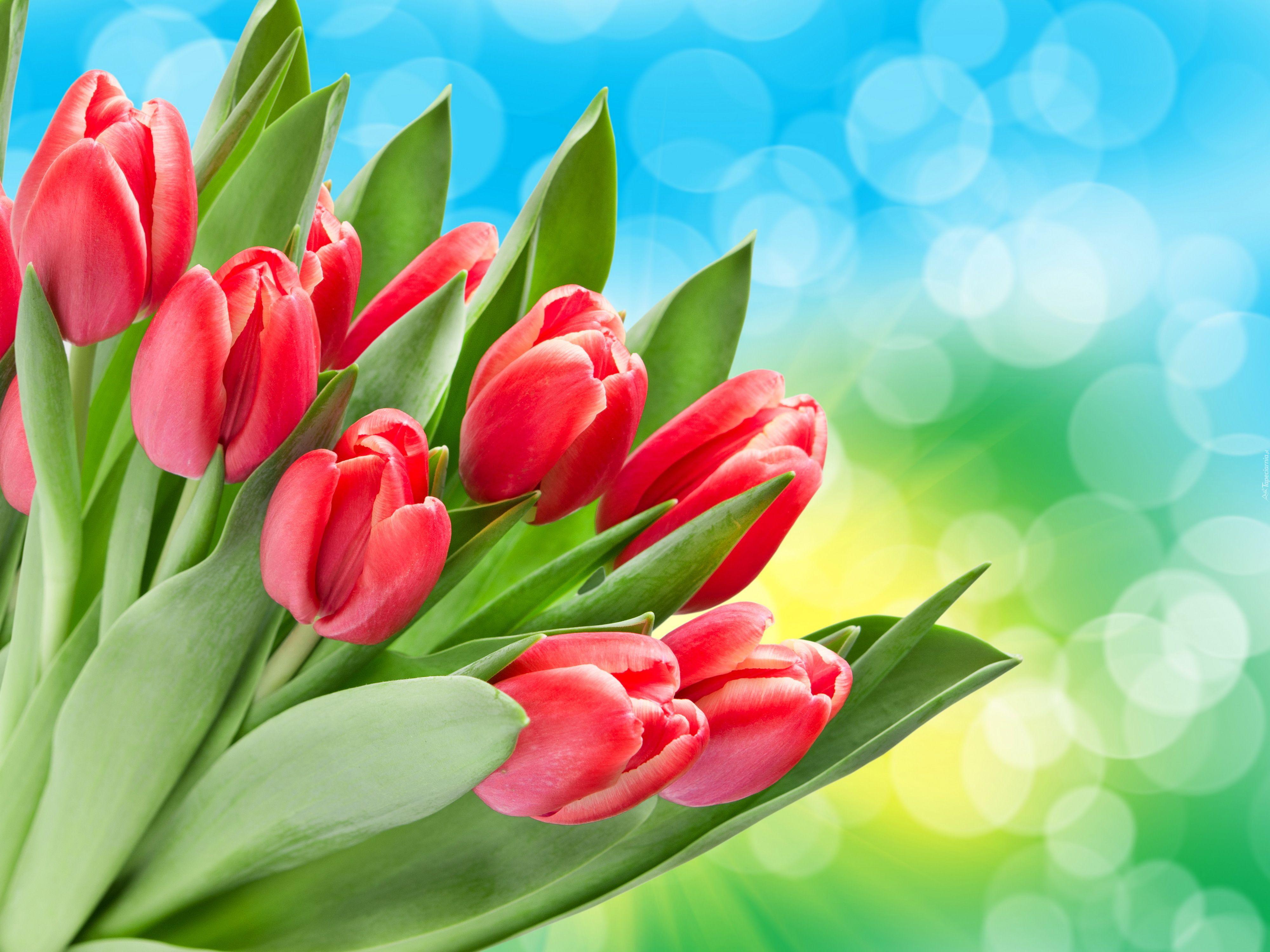 Bukiet Czerwone Tulipany Red Tulips Green Leaf Wallpaper Leaves Wallpaper Iphone