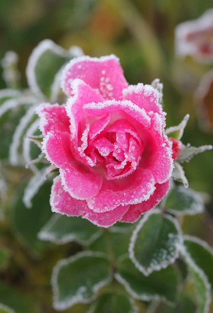 Frosted Pink Rose | Pink roses, Frosting and Rose